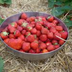 Erdbeeren pflücken in  Hamburg und Umgebung