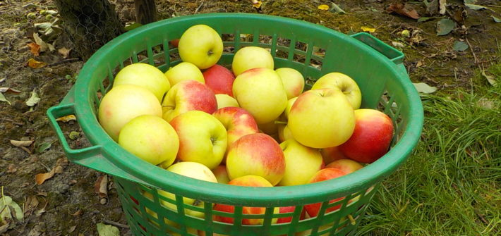 Apfelernte Obsthof Schuback