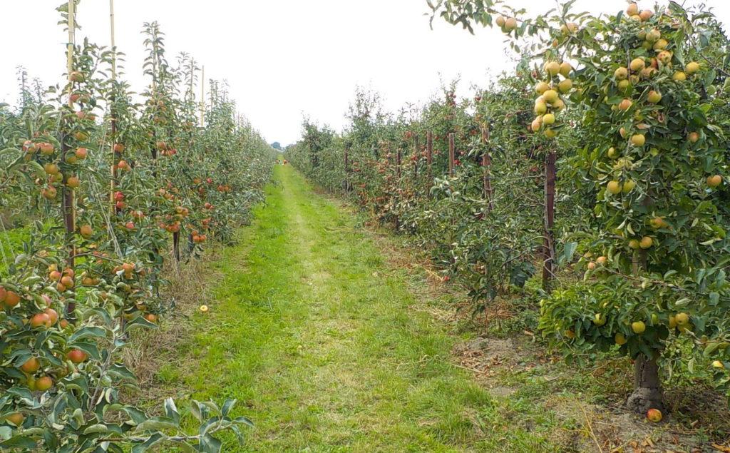 Apfelplantage Altes Land - Äpfel pflücken