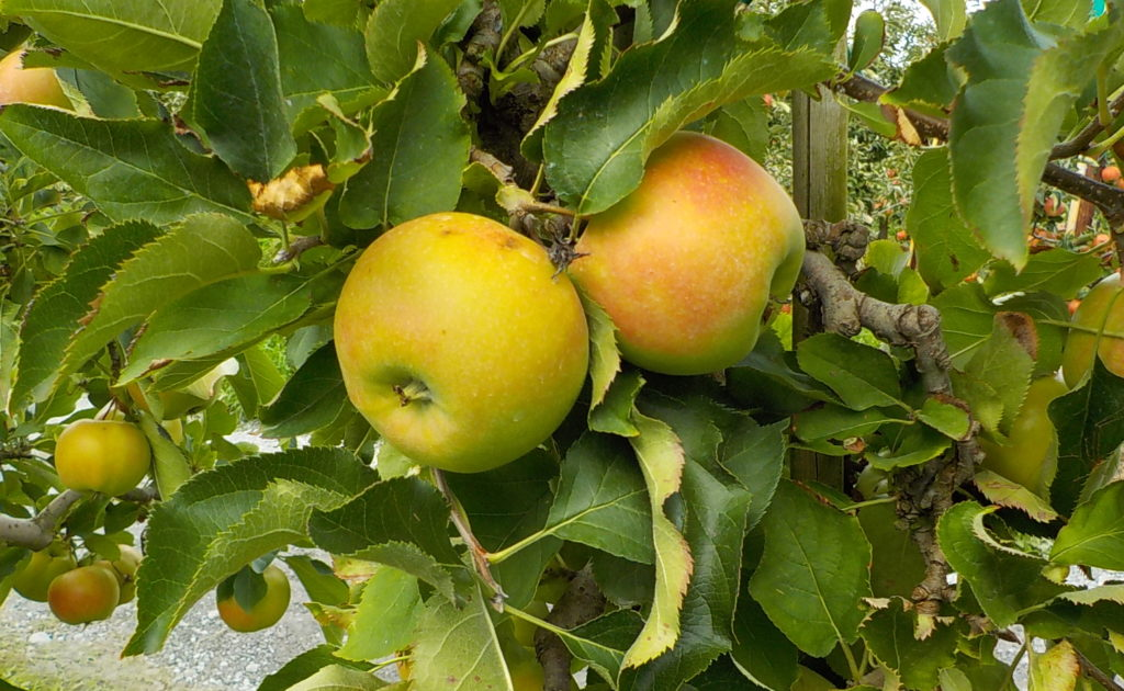 Äpfel pfllücken Obsthof Schuback