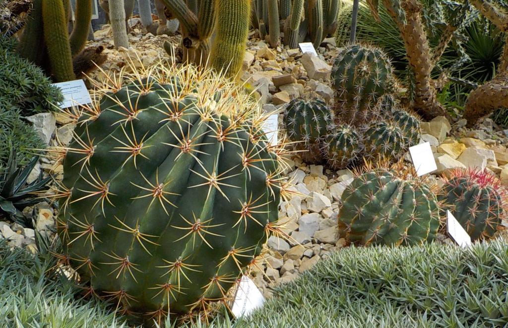 Kaktus im Schuagewächshaus
