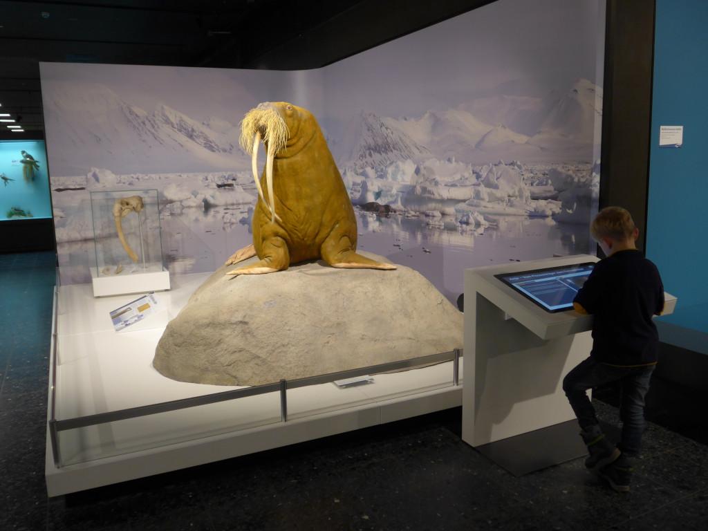 Zoologisches Museum Hamburg Walross
