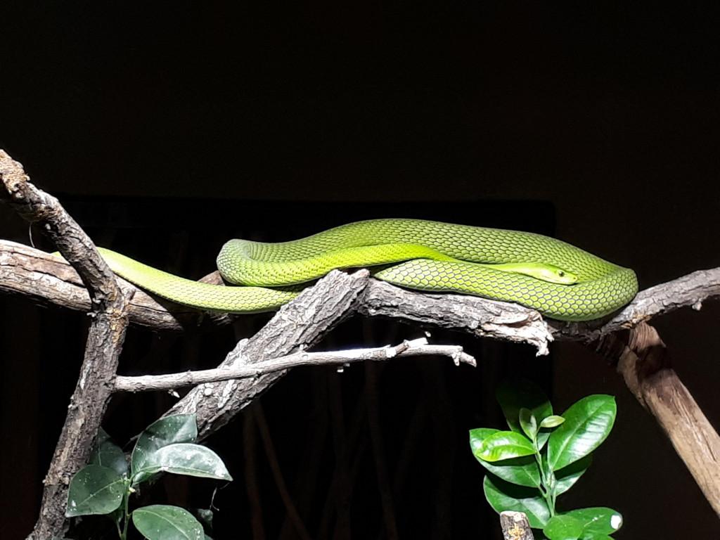 Hagenbeck grüne Giftschlange