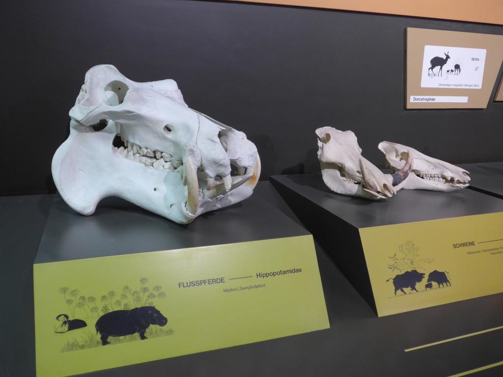 Zoologisches Museum Hamburg Schädel