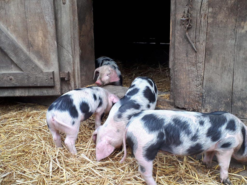 Freilichtmuseum am Kiekeberg Ferkel Bunte Bentheimer Schweine