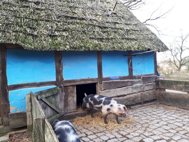 Freilichtmuseum am Kiekeberg Bunte Bentheimer Schweine