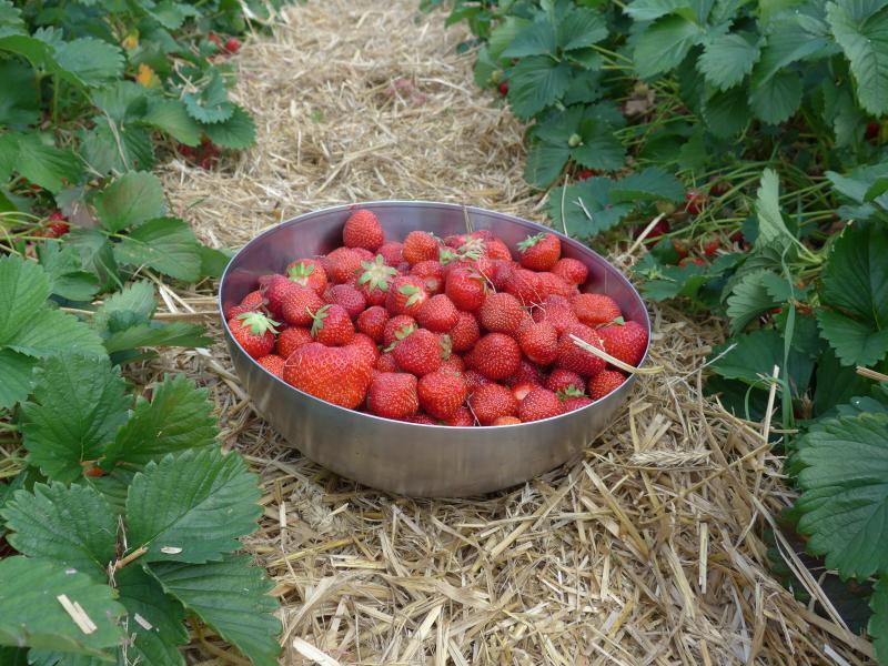 Erdbeeren selber pflücken Hamburg