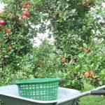 Äpfel pflücken im Alten Land
