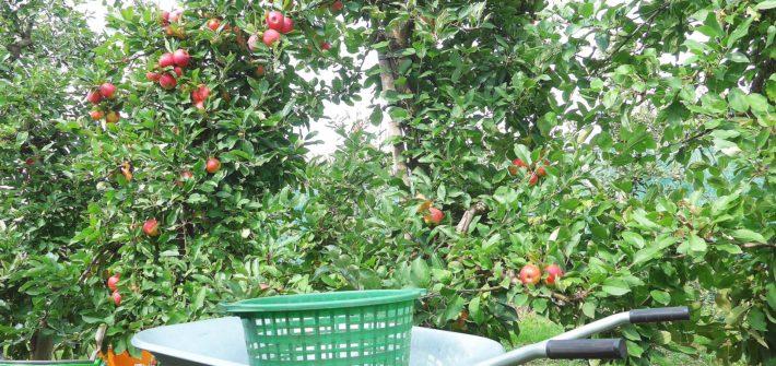 Äpfel pflücken Jork